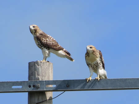redtail: Hawks