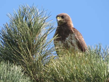 redtail: Redtail Hawk