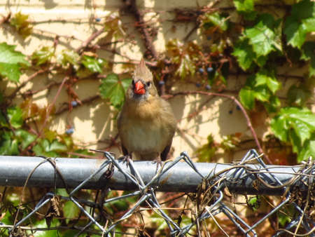 female cardinal: Female cardinal Stock Photo