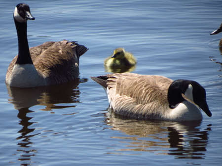 canadian geese: Canadian geese family Stock Photo