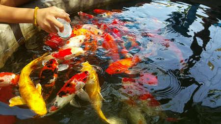 mirror carp: Feeding fancy carp koi