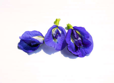 pea shrub: Purple flowers of Butterfly Pea. (Clitoria ternatea) Isolate on white background