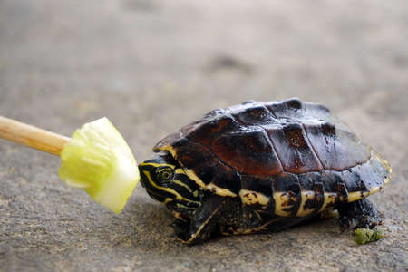 baby turtle: Feeding cucumber to baby turtle