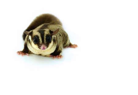 possum: sugar glider possum isolated on white background