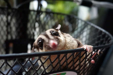 log basket: The cute sugar glider in the basket front of bicycle Stock Photo