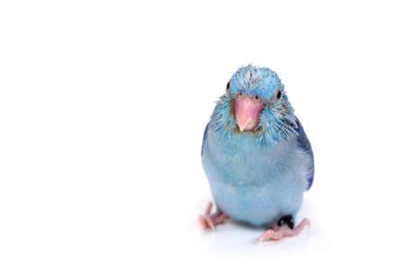 Cute Baby Pacific Parrotlet, Forpus coelestis, perched against  white background Stock Photo