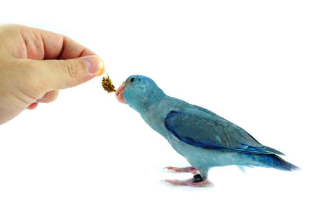 Feeding some millet to Pacific Parrotlet, Forpus coelestis on white background