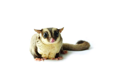 a nocturne: Flying squirrel, Sugar glider looking away isolated on white Stock Photo