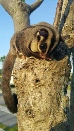 possum: Small possum or sugar glider climb on the tree Stock Photo