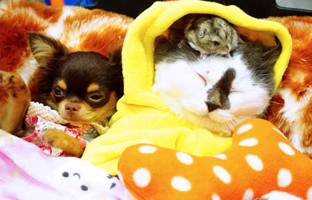 Pak Kret District, Nonthaburi - 09 October 2016 : Cute Persian cat , little dog and a hamster by Yutafamily at pet variety event , IMPACT Exhibition and Convention Center