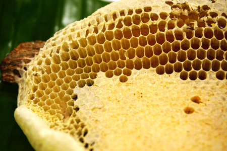 Fragment of honeycomb with full cells. Newly pulled honey bee honeycomb beeswax on plastic foundation with pollen tracks.