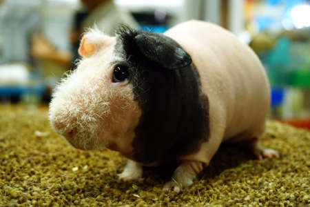Skinny Guinea pig , hairless cavy Stock Photo