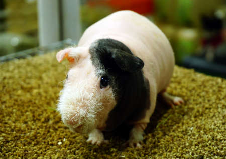 ittle: Skinny Guinea pig , hairless cavy Stock Photo