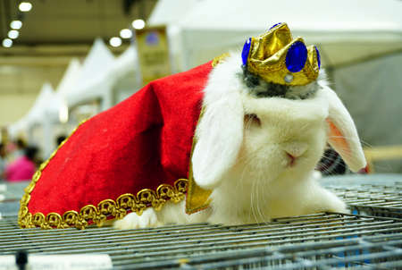 lop lop rabbit white: White holland lop rabbit long ears wearing a king suit costume