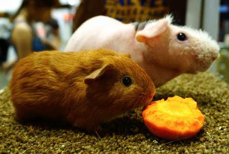 cavie: cavie con la carota fresca