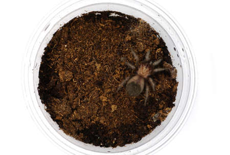 arachnida: Sling Brachypelma albiceps or Mexican golden red rump tarantula Stock Photo