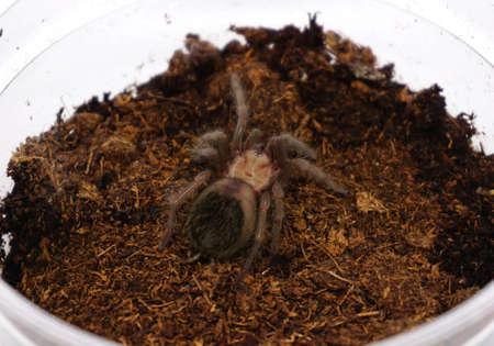 flauna: Sling Brachypelma albiceps or Mexican golden red rump tarantula Stock Photo