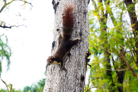 Squirrel climbing down a tree. Cute looking small furry animal looking curious.