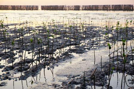 Sapling mangrove tree.