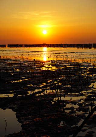 Sapling mangrove tree during sunset in Thailand