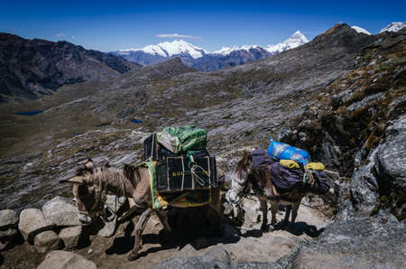 two pack mules transporting trekking equipment from the quebrada santa cruz in peru with pucaraju snowy mountain in the background