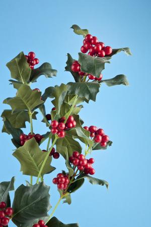 ilex aquifolium holly: European Holly (Ilex aquifolium) leaves and fruit
