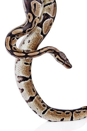 ball python: Ball Python with white background