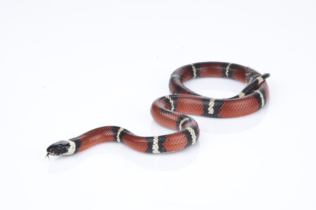 Milk Snake with white background photo