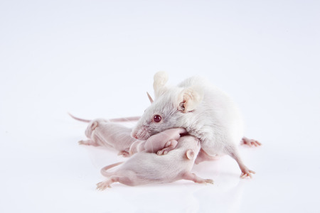 White laboratory mice: mother with pups, which are 9 days old; isolated on white photo