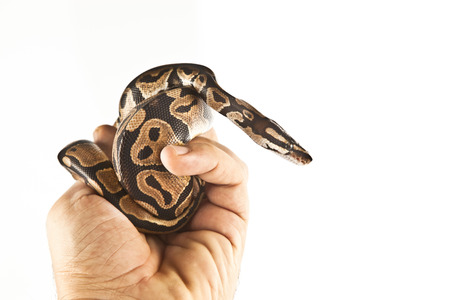 ball python: Ball Python on the hand with white background