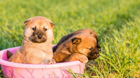 Cute Puppy, this cute pet puppy photo was taken barley field in Naju, South Korea. Stock Photo