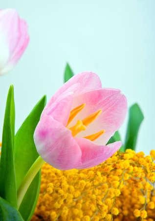tulip in studio quality postcard
