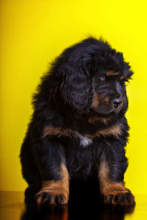 tibetan mastiff puppies in studio quality