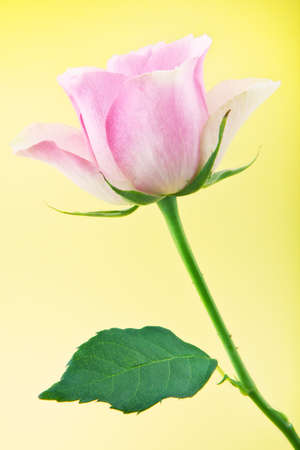 Pink rose in studio quality Stock Photo