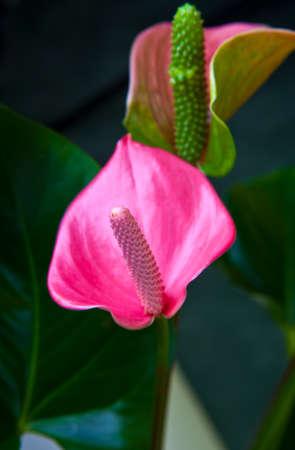 anturio pink flower studio quality Фото со стока