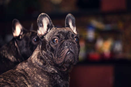 Funny Black French Bulldog Home Day Sunday Stock Photo