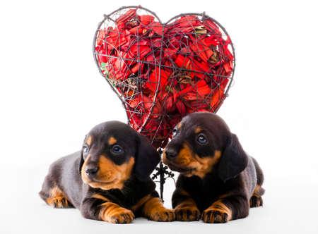 Dachshund dog puppy red heart studio