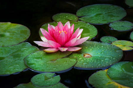 Pink Water lily garden Stock Photo