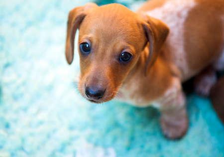 Dachshund puppy carpet natural light