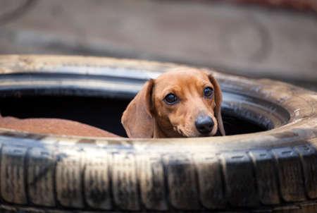 Dachshund dog old car tire