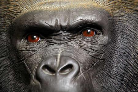 gorilla head dark background