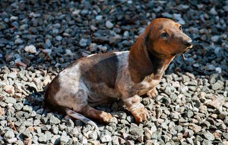 dachshund puppy garden day light