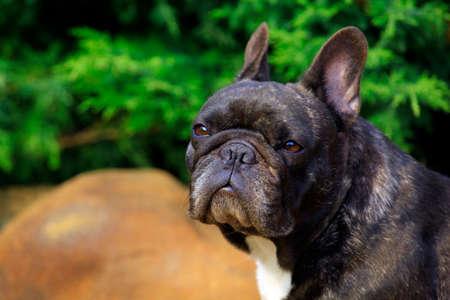 Garten der schwarzen französischen Bulldogge