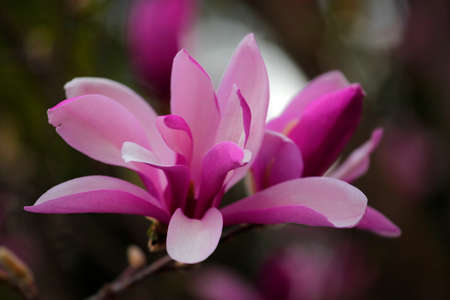 Pink magnolia tree flower park nobody