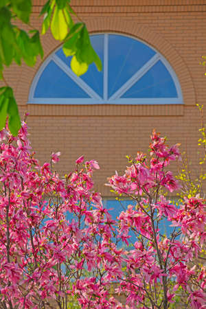 pink magnolia tree flower window nobody