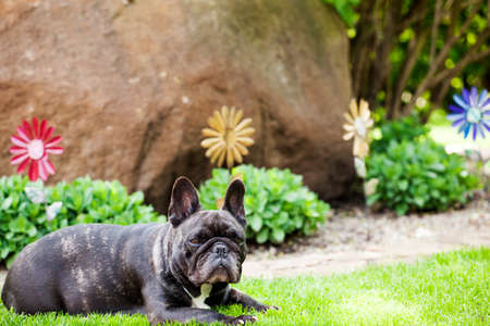 black french bulldog portrait garden