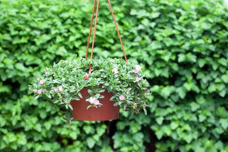 flower pot Virginia creeper background nobody