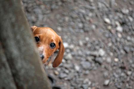 dachshund puppy kennel stone background Standard-Bild