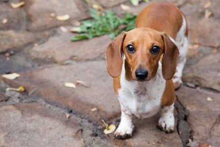 dachshund puppy portrait stone background