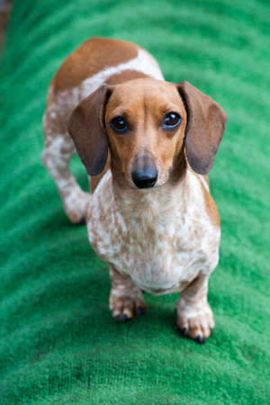 dachshund puppy portrait green background